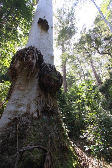 In the path of the dozers... a magnificent 2.3m old-growth blue gum in Koreelah.
