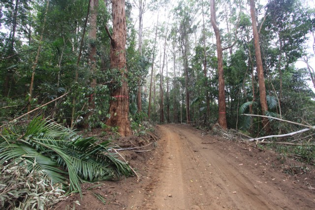 Government approved logging of rainforest species in koala high-use area at Whian Whian last year brought the issue of forest harvesting into sharp focus. Photo supplied