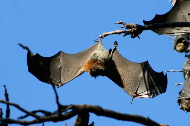 The grey-headed flying fox. Photo Mike Lehmann
