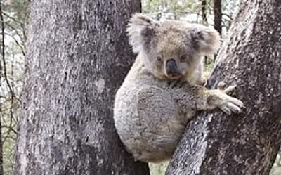 Koala in the Leard State Forest. Image from the Nature Conservation Council of NSW.
