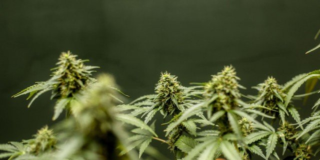 Cannabidiol is bred out of street cannabis in Australia. Dank Depot/Flickr.com