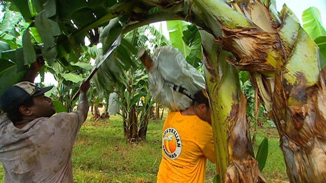 Bananas being harvested in Queensland. Photo courtesy www.australianbananas.com.au
