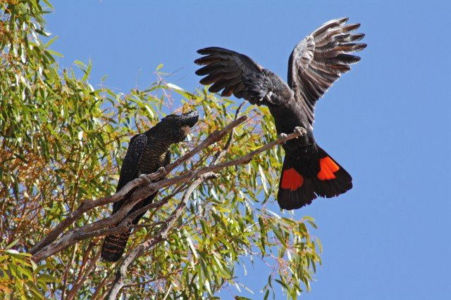 Red tailed black cockatoos. Photo Bill & Mark Bell