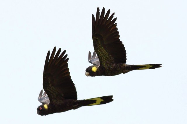 Yellow tailed black cockatoos. Photo Wayne Butterworth