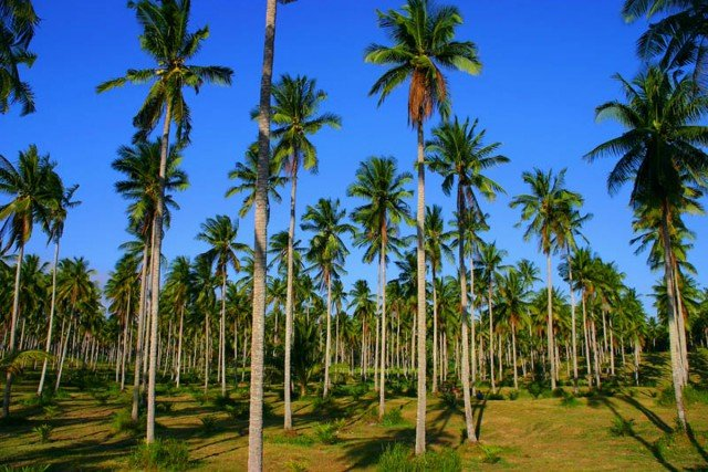 Coconut plantations:  Once again the Third World becomes the quarry for our mass consumption – this time in the form of a coconut grove. Photo www.trekearth.com