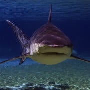 A typical bull shark. Image sharks-world.com