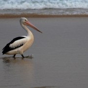 A pelican at Tallow Beach. Photo Mary Gardner