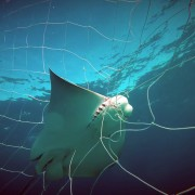 A ray caught in netting that is meant to deter sharks. (Sea Shepherd)