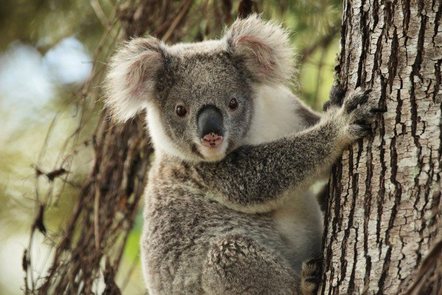 A koala in the care of Friends of the Koala. A new national body, the National Koala Alliance, is calling for immediate federal action to save the species.