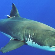 The Federal Government says it will do whatever it takes to prevent shark attacks. (Wikipedia)