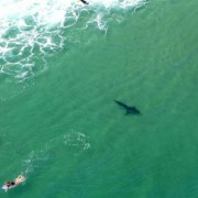 A shark spotted near surfers at Boulder Beach on Saturday. (image: Rotorwing Helicopter Services)