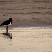 Pied oystercatcher. Photo Mary Gardner