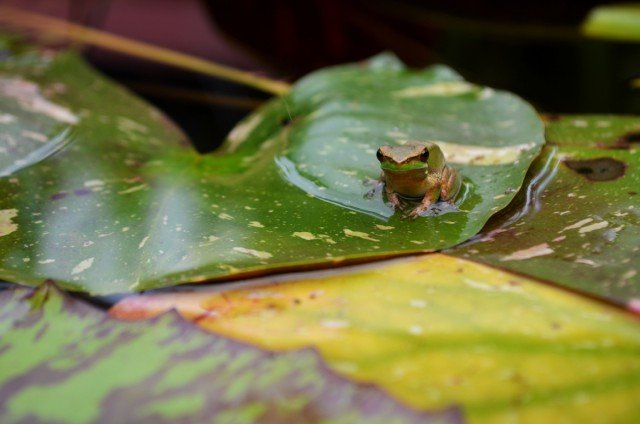 A frog sunning itself on a leaf - one of environment writer Mary Gardner's favourite things. Photo Mary Gardner