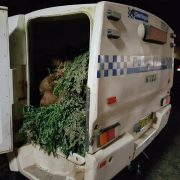 Cannabis plants discovered at a Dyraaba property. (supplied)