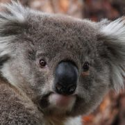 A new plan is being launched to help save the region's koalas.