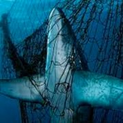 Shark in a net