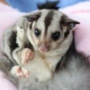 The rescued Sugar Glider is now miraculously part of Currumbin Wildlife Sanctuary's breeding program. Photo supplied