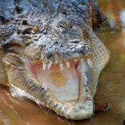 Crocodile in northern Queensland. Photo Christian Haugen flickr.com/photos/christianhaugen