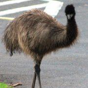 emu road