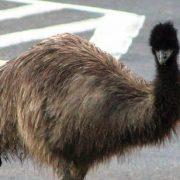 emu-road-featimage