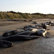 Photo of pilot whale stranding from Project Jonah New Zealand Facebook page