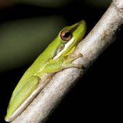 wallum-sedge-frog