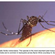 In Byron Shire, the most commonly found species is thought to be Aedes notoscriptus.  Photo contributed