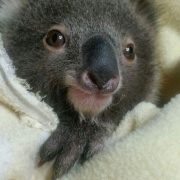 This koala is being cared for by Friends of the Koala (FoK). Photo supplied.