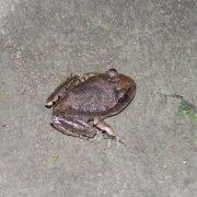 -barredfrog-