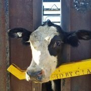 Cattle—police-arrest-