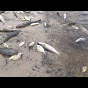 Deliberate fish kill in Tallow Creek?