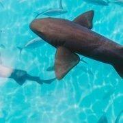 Shark-