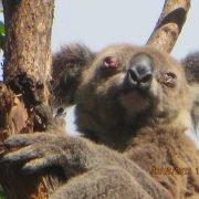 euthanased-diseased-koala-captured-26Jul2019-Black-Rocks-Sportsfield