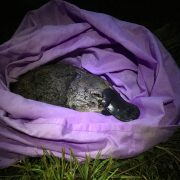 UNSW Science Platypus research image 2 – Picture by UNSW