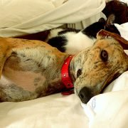 Greyhound-with-cat-and-owner-in-bed