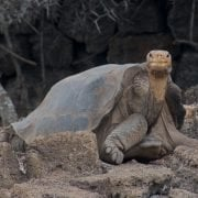 Lonesome George Pinta Island Torrtoise Died 24 June 2012