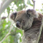 Koala-Phil-PJ–Feb-21