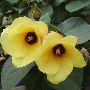 coastal-hibiscus-or-cottonwood(Hibiscustiliaceus)