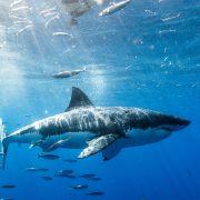 shutterstock_Shark