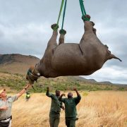 GettyImages-airlift-rhino-2